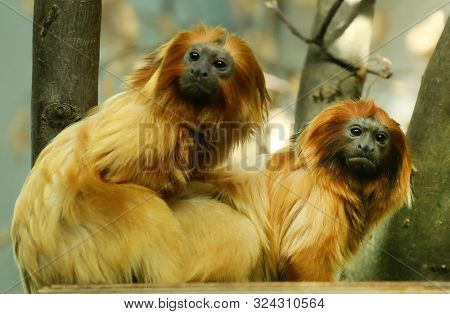 Golden Lion Tamarin One Of The Smallest Rare Monkey Native To Brazil