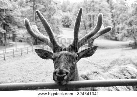 Keep The Beauty Alive. Reindeer Caribou. Reindeer Or Deer On Natural Landscape. Reindeer Species Wit