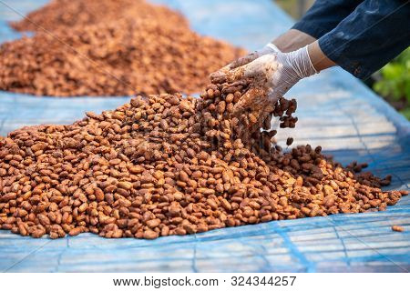 Cocoa Beans, Or Cacao Beans Being Dried On A Drying Platform After Being Fermented