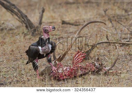 King Vulture Feeding On Deer Carcas At Ranthambhore National Park In Rajasthan, India