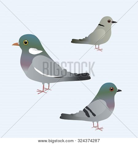 Common Wood Pigeon, Eurasian Collared Dove And A Pigeon Illustration
