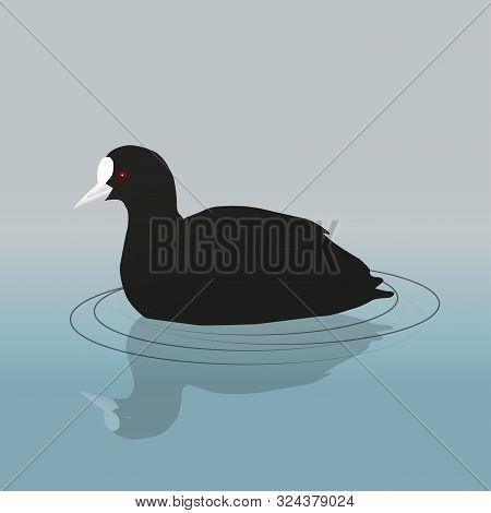A Vector Illustration Of A Common Coot Or Eurasian Coot Swimming
