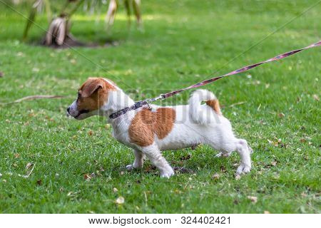 Jack Russell Terrier Puppies Playing The Green Park, Little Jack Russell Puppy Playing With Green Gr