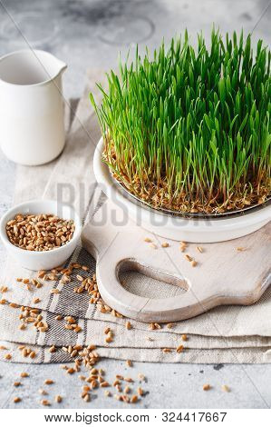 Sprouting Microgreens. Sprouting Dish For Green Shoots. Seed Germination At Home. Vegan And Healthy