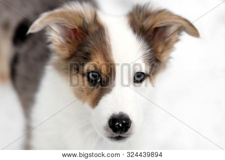 Portrait Of A Patchy Colored Puppy, Australian Shepherd Mixed-breed Dog, Copyspace