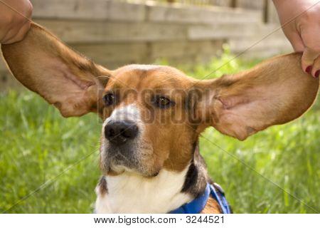 Big Ear Beagle