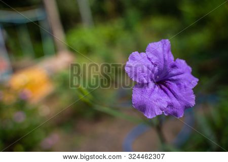 The Close Up Purple Ruellia Tuberosa Flower In Nature Garden