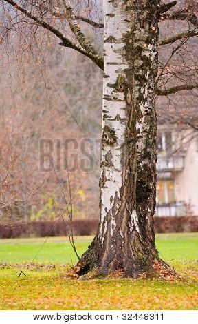 Birch Trunks In Autumn