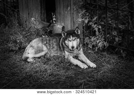 Small Puppies Breed Siberian Husky.small Puppies Breed Siberian Husky.husky Puppies Play In The Encl