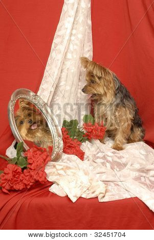 Yorkie in a Mirror