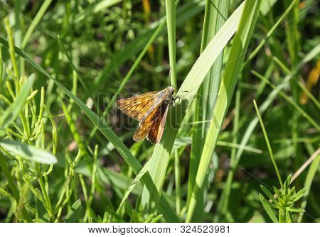 Beautiful Large Skipper Butterfly Ochlodes Sylvanus On Green Grass.