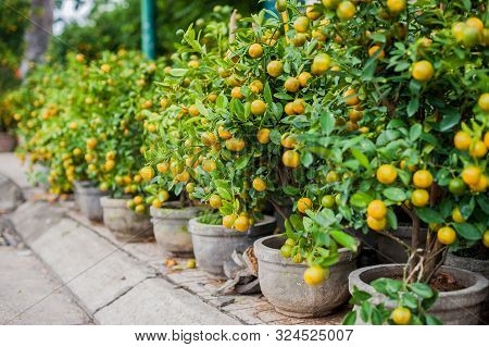 Kumquat, The Symbol Of Vietnamese Lunar New Year. In Nearly Every Household, Crucial Purchases For T