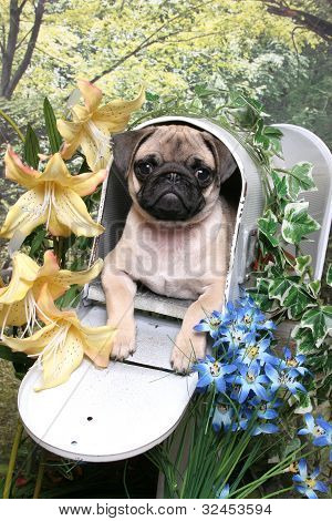 Pug In A Mailbox