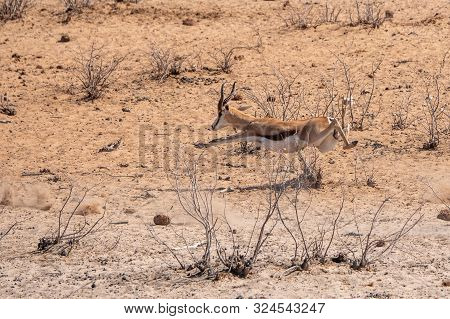 Springbok Running And Leaping Midair, Sprinting Away In Etosha National Park, Namibia