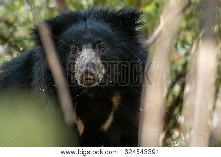 Big Sloth Bear Or Melursus Ursinus Vulnerable Species Encounter In Natural Habitat During Jungle Saf