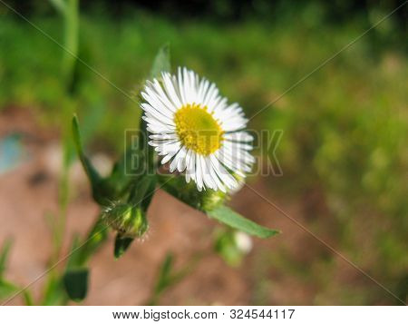 Closeup Of Wild Daisy Flowers. Romantic White Daisy Flower At Sunny Summer Day.  Oxeye Daisy, Leucan