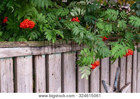 Branches Of Red Sorbus Aucuparia Hang Over The Old Fence.