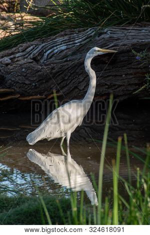 White Egret Standing In Water With A Reflection