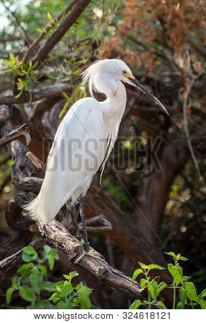 Snowy Egret Sitting On A Tree Branch