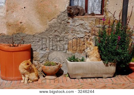 Three cats sit outside their house enjoying the spring sunshine Tuscany Italy poster