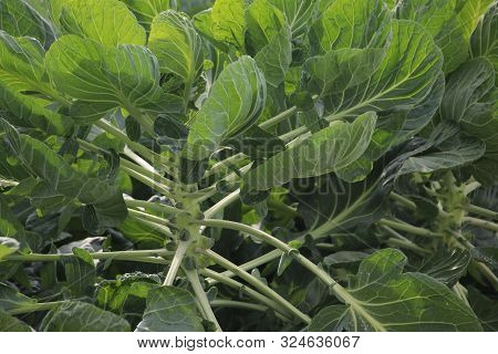 Plants On A Farmland In Moerkapelle With Small Brussels Sprouts Growing In The Netherlands