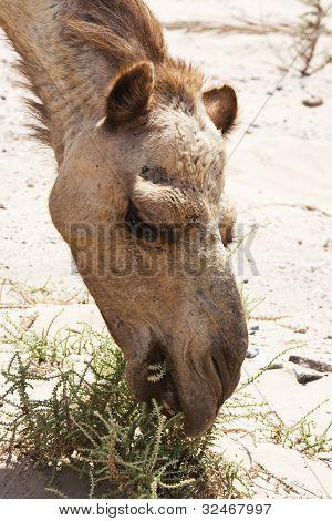 camel feeding in desert