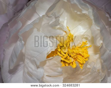 Close Up Of White Peony With Yellow Anther.