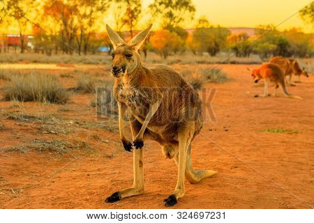 Front View Of Adult Red Kangaroo, Macropus Rufus, Standing On The Red Sand Of Outback Central Austra