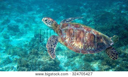 Sea Turtle Swimming In Clear Blue Water. Green Turtle Underwater Photo. Tropical Seashore Wildlife.