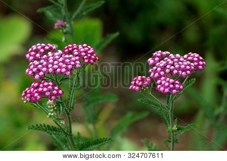Two Bunches Of Common Yarrow Or Achillea Millefolium Or Plumajillo Or Herbal Militaris Or Gordaldo O