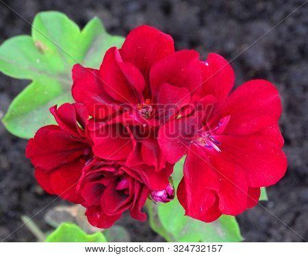 Pelargonium Is Sympathetic. Gorgeous Bright Flower Of Pelargonium Ivy. Pelargonium Peliconium In The