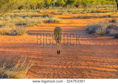 Front View Of Red Kangaroo Jumping On Red Sand Of Outback Central Australia In The Wilderness. Austr