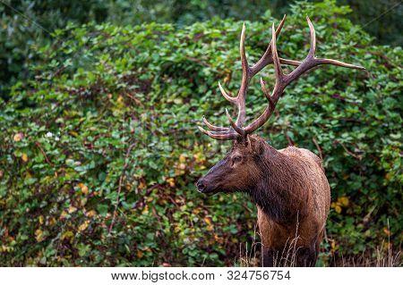 Roosevelt Bull Elk Standing In Front Of Green Vines