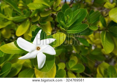 Close-up Of A White Tiare Flower In Moorea, French Polynesia With Green Leaves In The Background