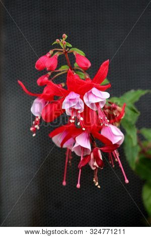 Fuchsia Decorative Flowering Plant Single Branch With Multiple Fully Open Blooming Pendulous Teardro