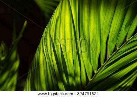 Green Leaf Of Tropical Plant Photo. Decorative Flora In Sunlight. Palm Leaf In Backlight. Tropical P