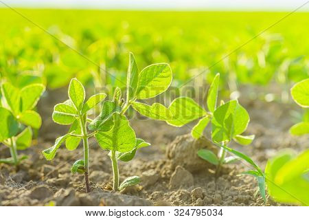 Glycine Max, Soybean, Soya Bean Sprout Growing Soybeans On An Industrial Scale. Young Soybean Plants