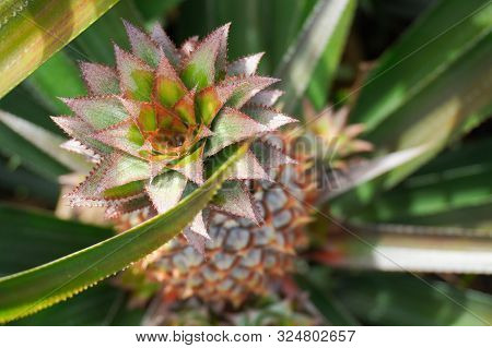 Top View Of The Crown Of A Pineapple In A Field On The Island Of Moorea In French Polynesia