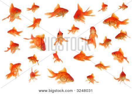 Fantail Goldfish Collage
