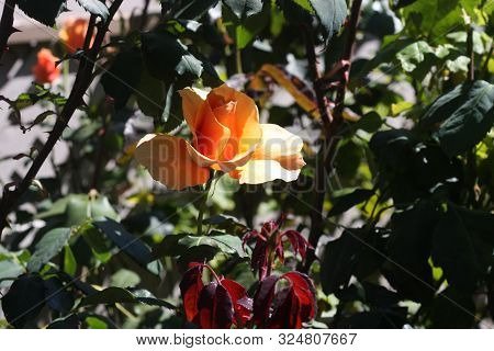 This Is An Image Of An Orange Rose Growing In Carmel, California.