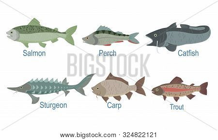 Collection Of Fish Species With Name Subscription, Salmon, Perch, Catfish, Sturgeon, Carp, Trout Vec