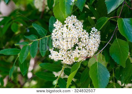 Blooming Sorbus Close-up. White Flowers Of Mountain Ash. Sorbus Aucuparia, Sorbus Americana, Rowan.