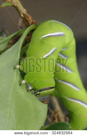 Privet Hawkmoth Caterpillar - Sphinx Ligustri  Large Green Caterpillar Feeding