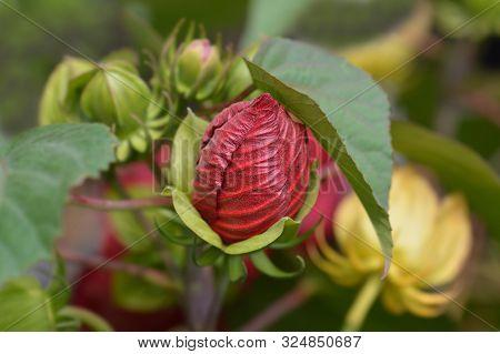 Hardy Hibiscus Luna Red Flower Bud - Latin Name - Hibiscus Moscheutos Luna Red