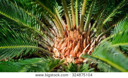 Close Up Of Center Of Sago Palm Of With Green Leaves On The Sun. Exotic Tropical Plant. Metroxylon S