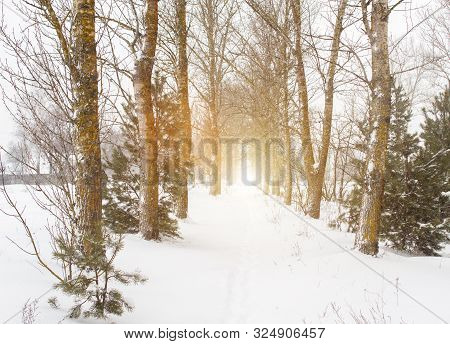 Winter Alley With Aspens Trees. Aspen Grove Against The Backdrop Of Sun And Snow. Populus Tremula