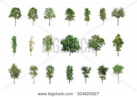 Collection Of Isolated Trees On White Background, A Beautiful Trees From Thailand, Suitable For Use