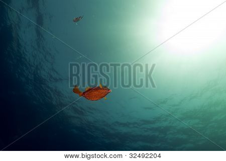 Boxfish, ocean and sun in the Red Sea.