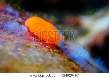 Orange Gumdrop Sea Slug - Berthellina Delicata/citrina