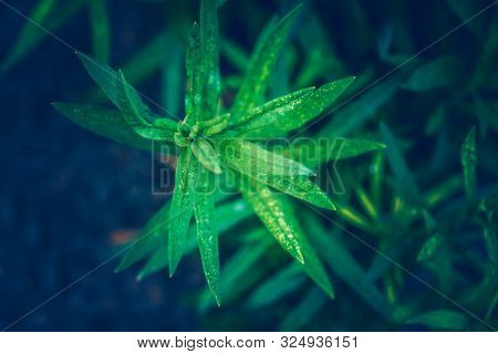Beautiful Fairy Dreamy Magic Green Leaves Of Asclepias Tuberosa Or Butterfly Weed Flower On Faded Bl